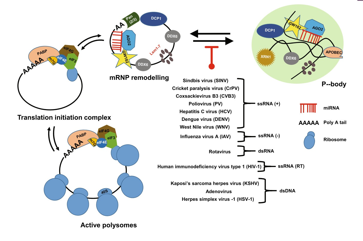 Viral Regulation of RNA Granules in Infected Cells
