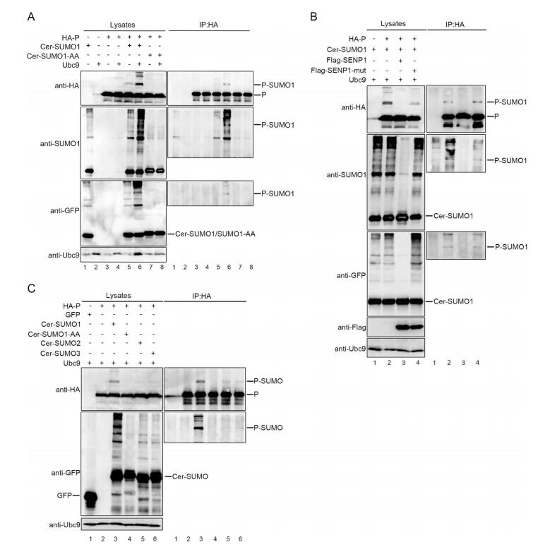 Sumoylation of Human Parainfluenza Virus Type 3 Phosphoprotein Correlates with A Reduction in Viral Replication
